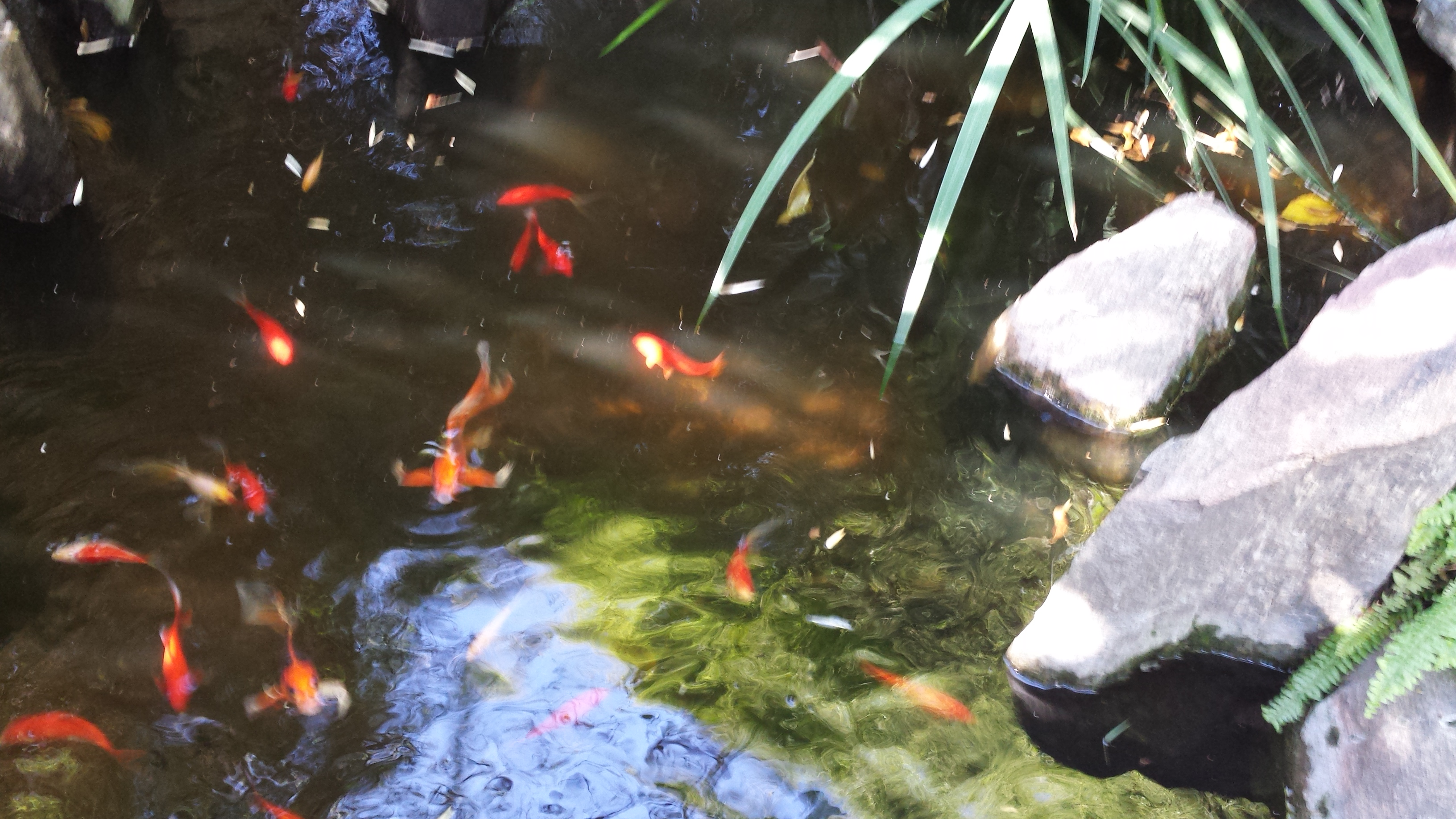43 koi and 20 goldfish permaculture blog for Koi for sale san diego